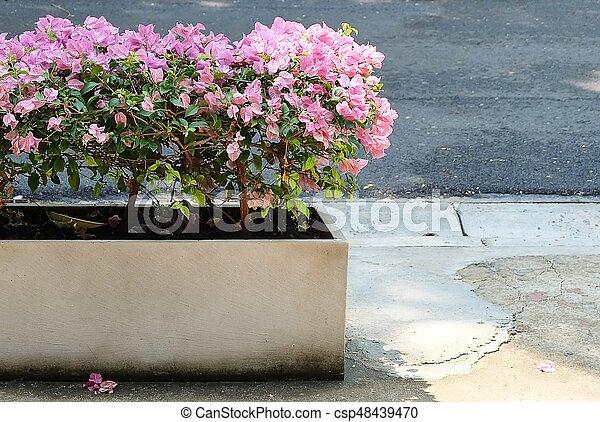 Pink Bougainvillea Flower In White Cement Pot