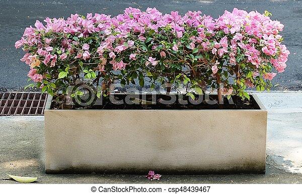 Pink Bougainvillea In A Cement Flower Pot