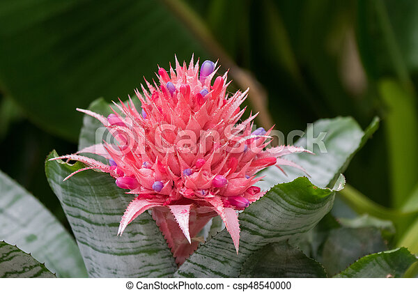 Pink Bracts And Small Violet Flowers Of Bromeliad Called Aechmea