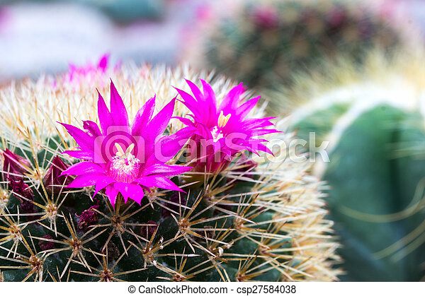 Pink cactus flower stock photos search photographs and clip art pink cactus flower stock photos search photographs and clip art photo images csp27584038 mightylinksfo