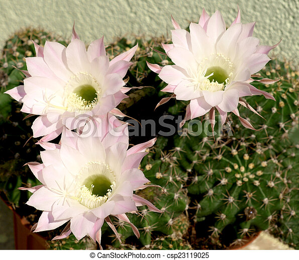Pink Cactus Flowers That Blooms For Only One Day
