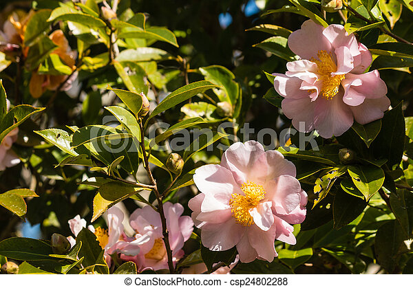 pink camellia flowers in bloom - csp24802288