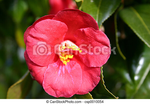 Pink Camellia - csp0010054