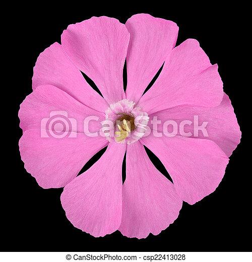 Pink campion wildflower isolated on black background pink campion wildflower isolated on black csp22413028 mightylinksfo