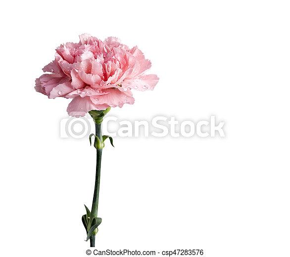 Pink carnation flower isolated on white background pink carnation flower isolated on white background csp47283576 mightylinksfo