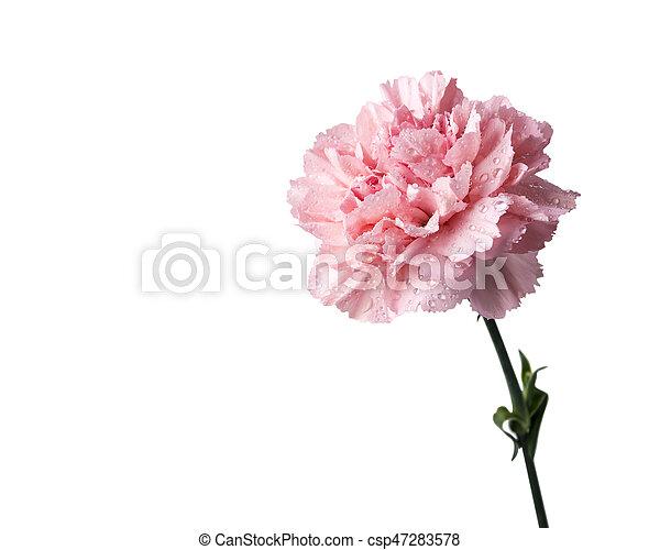 Pink carnation flower isolated on white background pink carnation flower isolated on white background csp47283578 mightylinksfo