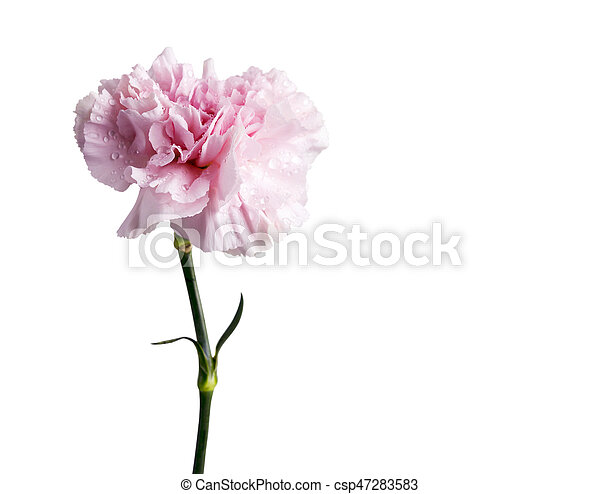 Pink carnation flower isolated on white background pictures search pink carnation flower isolated on white background csp47283583 mightylinksfo