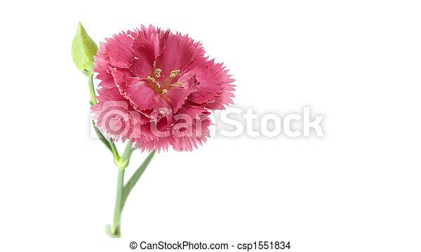 Pink carnation flower single pink carnation isolated on white pink carnation flower csp1551834 mightylinksfo