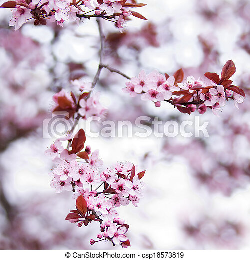 Pink cherry blossom flowers in early spring - csp18573819