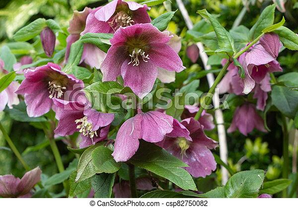 Pink Christmas rose in a garden - csp82750082