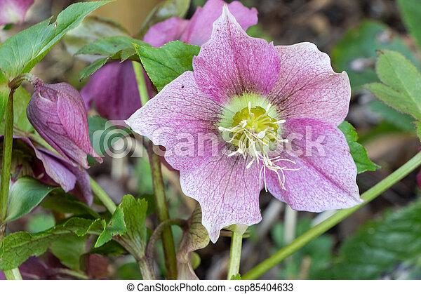 Pink Christmas rose in a garden - csp85404633