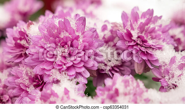 Pink chrysanthemum covered with snow. Flowers in the snow. Autumn flowers  and white snow.
