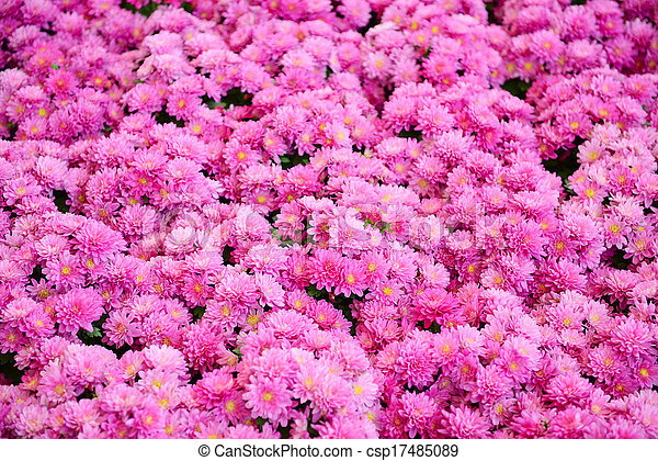 Pink Chrysanthemum - csp17485089