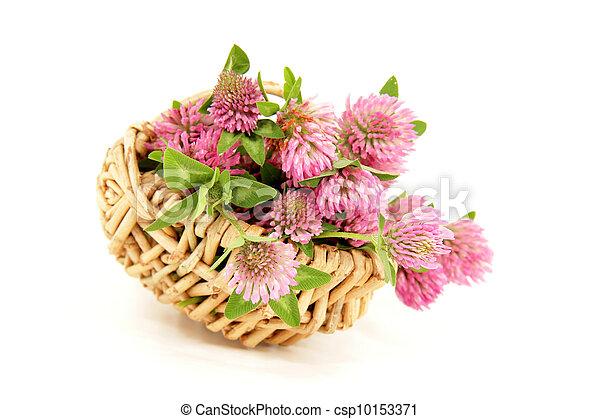 pink clover blooms - csp10153371