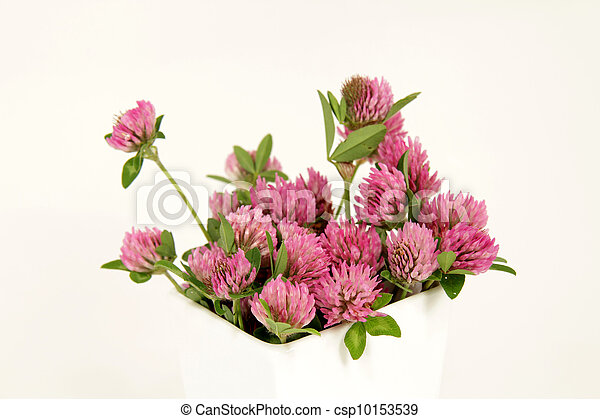 pink clover blooms - csp10153539