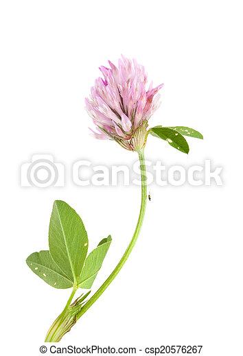 pink clover - csp20576267