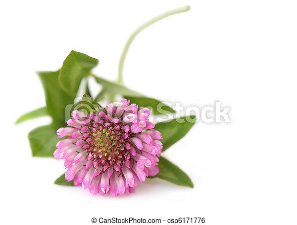 Pink Clover - csp6171776