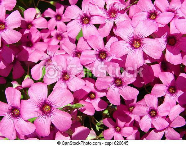 pink clover - csp1626645