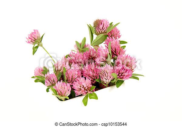 pink clover - csp10153544