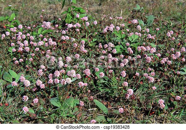 Pink clover - csp19383428