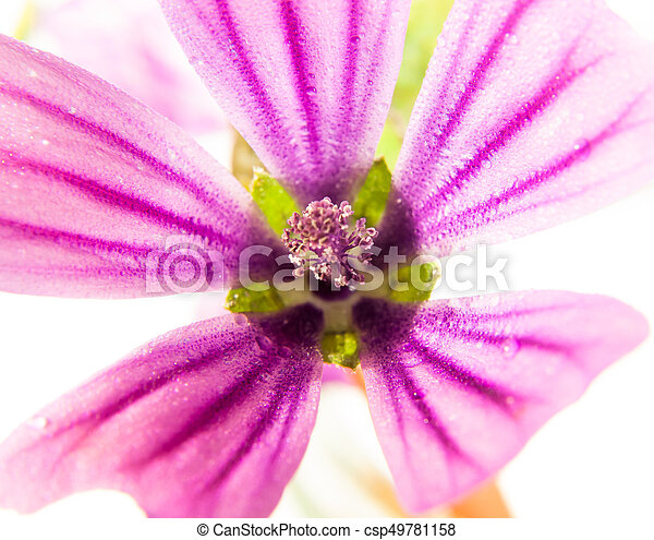 pink common mallow Malva sylvestris up close on white background with water dew droplets - csp49781158