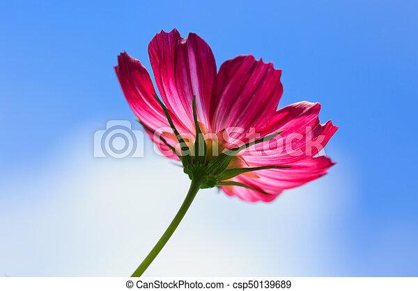 Pink cosmos flower isolated on blue sky bright summer floral pink cosmos flower isolated on blue sky csp50139689 mightylinksfo