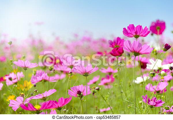 Pink cosmos flowers field on sunny day mightylinksfo