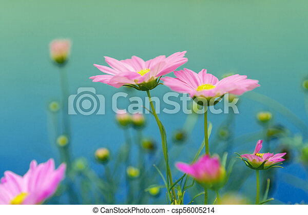 Pink cosmos flowers on a blue background - csp56005214