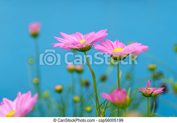 Pink cosmos flowers on a blue background - csp56005199
