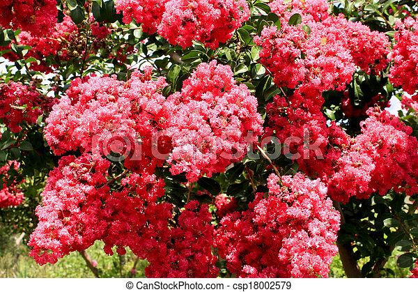 Pink crepe myrtle blossom flowers crepe myrtle tree covered in dark pink crepe myrtle blossom flowers csp18002579 mightylinksfo