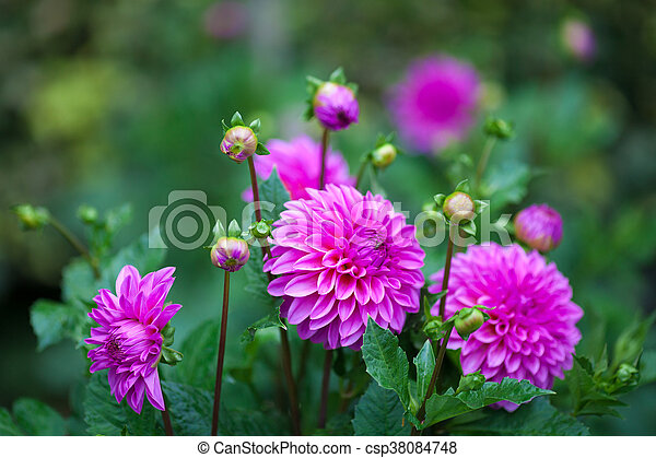 Pink Dahlia Flower In Full Bloom Closeup Garden Dahlia Flower In