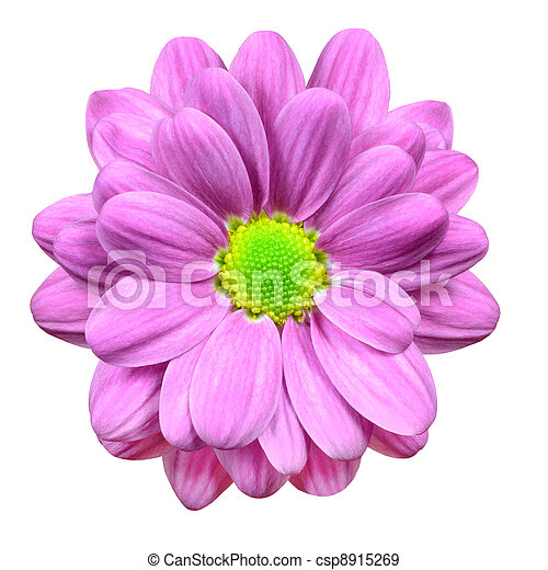 Pink Dahlia Flower with Lime Green Center  Isolated - csp8915269