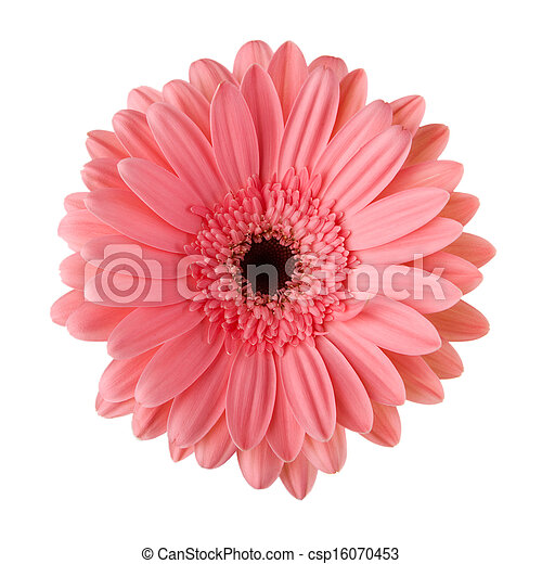 Pink daisy flower isolated on white - csp16070453