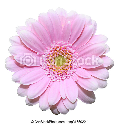 Pink daisy flower isolated on white background - csp31650221