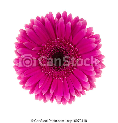 Pink daisy flower isolated  - csp16070418