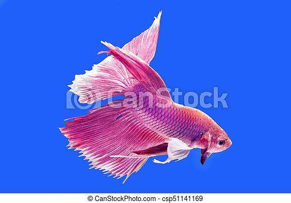 pink dampo betta fish capture the moving moment of siamese fighting