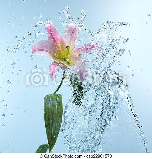 Pink day lily in cool splashing water - csp22901570