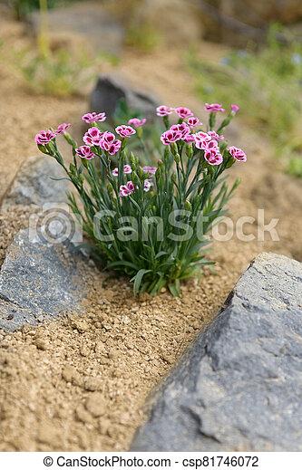 Pink dianthus alpine flower planted in a rockery garden. Rock garden plant close up. - csp81746072