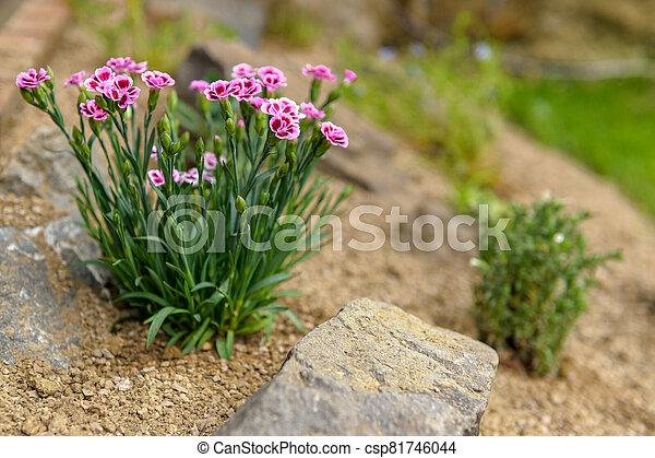 Pink dianthus alpine flower planted in a rockery garden. Rock garden plant close up. - csp81746044
