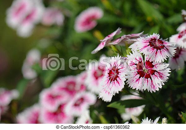 Pink Dianthus flower in garden - csp61360362