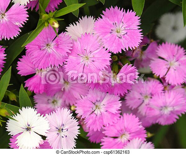 Pink Dianthus flower in garden - csp61362163