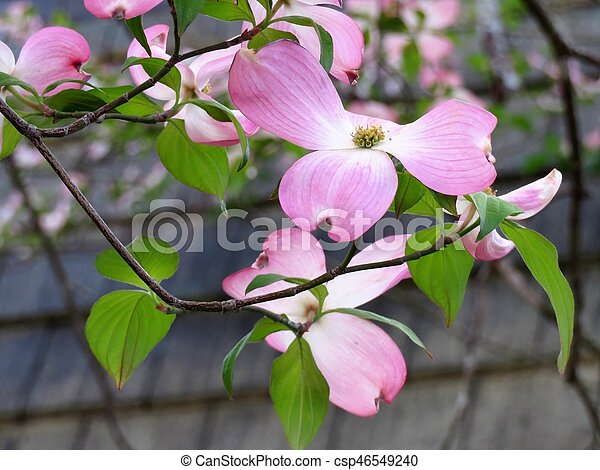 Pink dogwood tree blooming with pink flowers pink dogwood tree blooming with pink flowers csp46549240 mightylinksfo