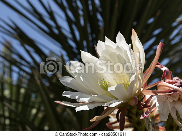 Pink Easter lily cactus - csp28561611