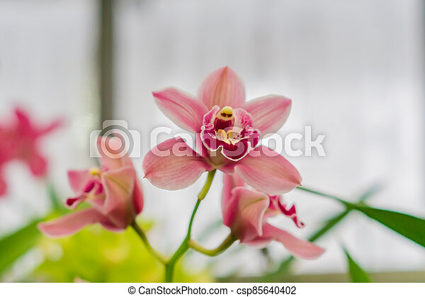 pink exotic orchid flowers in botanical garden - csp85640402