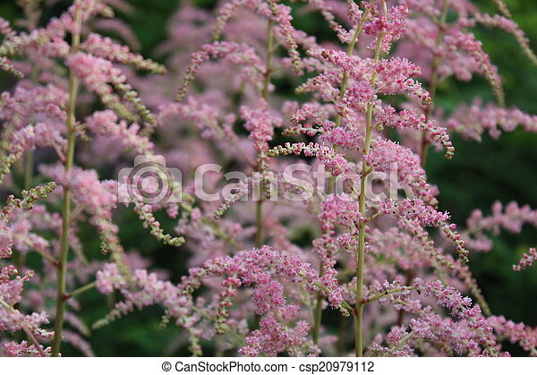 Pink feathery flowers england very dainty detailed fern like pink feathery flowers england csp20979112 mightylinksfo