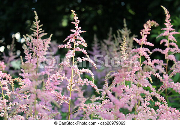 Pink feathery flowers england very dainty detailed fern like pink feathery flowers england csp20979063 mightylinksfo