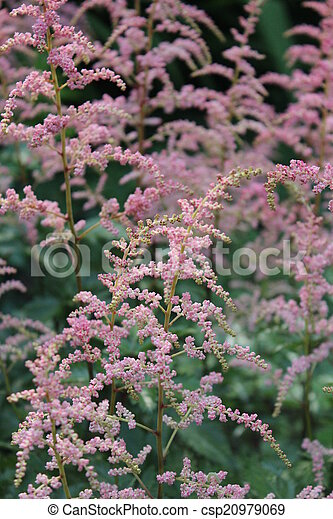 Pink feathery flowers england very dainty detailed fern like pink feathery flowers england csp20979069 mightylinksfo
