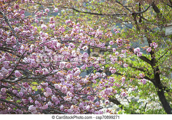The Pink Flower And Lots Of Colors Sakura Trees Japan