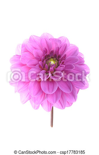Pink flower dalia isolated on white background pictures search pink flower dalia csp17783185 mightylinksfo