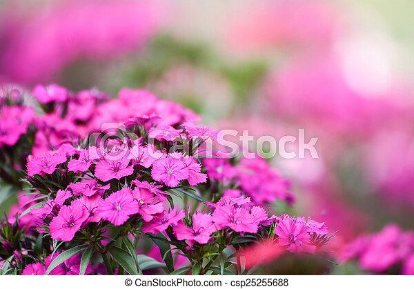 pink flower in the garden - csp25255688
